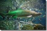 Зеленая акула